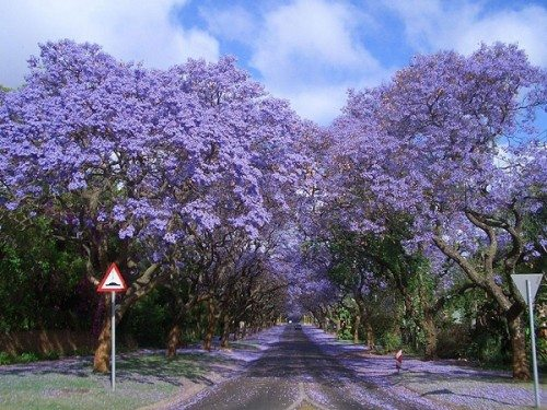 magical tree tunnels Jacarandas Walk in South Africa