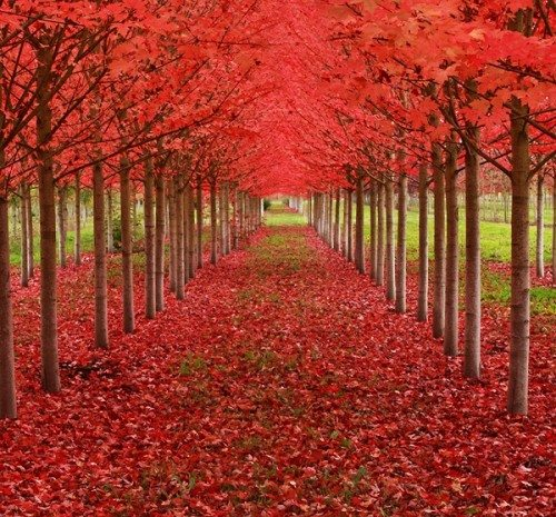 magical tree tunnels Maple Tunnel in St Louis Oregon U.S.A.