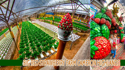 Big red strawberry farm cameron highlands