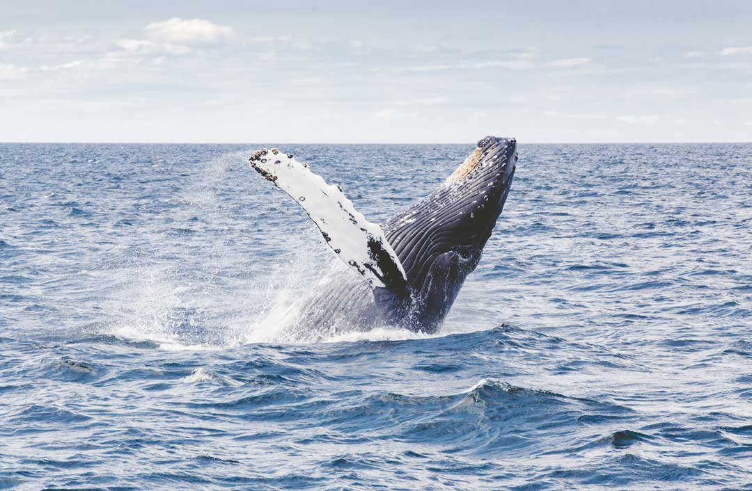 Humpback Whale Thomas Kelley Unsplash