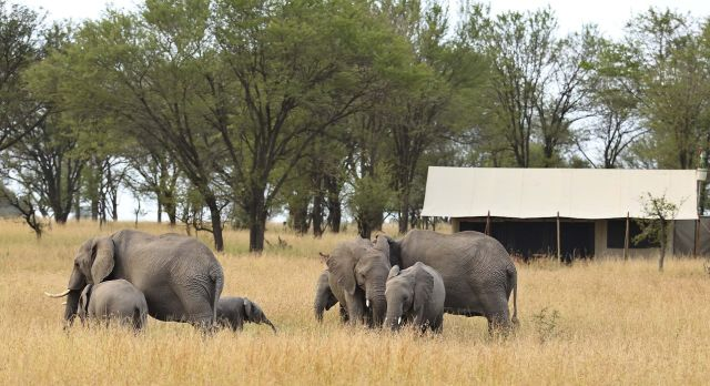 Enchanting Travels Tanzania Tours Serengeti Hotels kimondo-camp-elephants-grazing